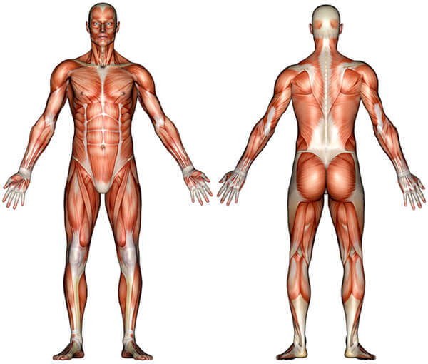 A diagram of the human muscular system anatomy